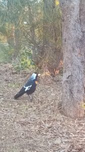 Come Try Retreat has tame magpies, frogs, many other birds